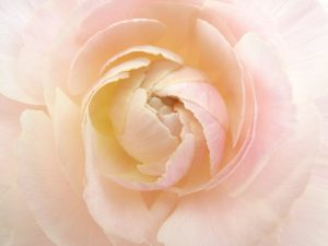 綺麗なラナンキュラスのお花です。
