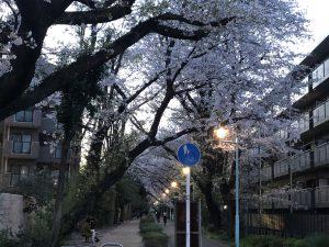 満開の桜です。