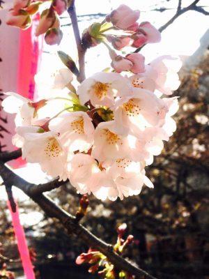 桜が咲いています。