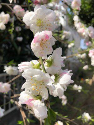 仕事の前に桜の散策です。