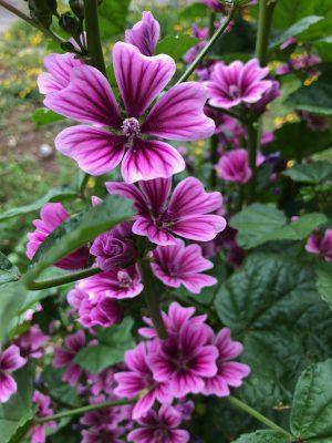 お庭に咲いているお花です。