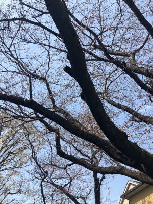 まだ蕾が硬い桜の木です。
