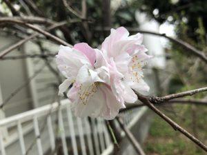 一つの花にピンクと白が一緒になって咲いている桜です。