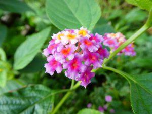 日暮里校のお庭に咲いている可愛いお花です。