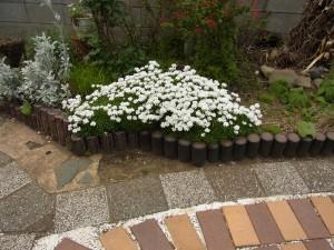お庭にノースポールが満開に咲いていました。