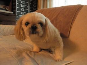 まん丸お目目が可愛い小型犬です。