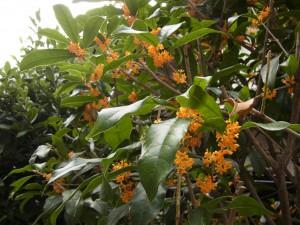 いい香りがする金木犀の木です。