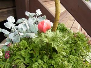 日暮里のカルチャースクール、シャレースイスミニの庭に咲いているアネモネです。