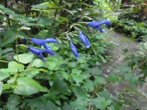 田園調布の庭に咲いている花です。