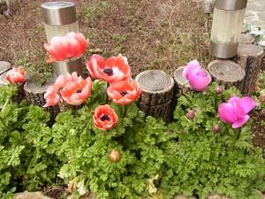 お庭の咲いているラナンキュラスです。