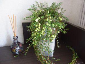 クランベリーの鉢植えです。